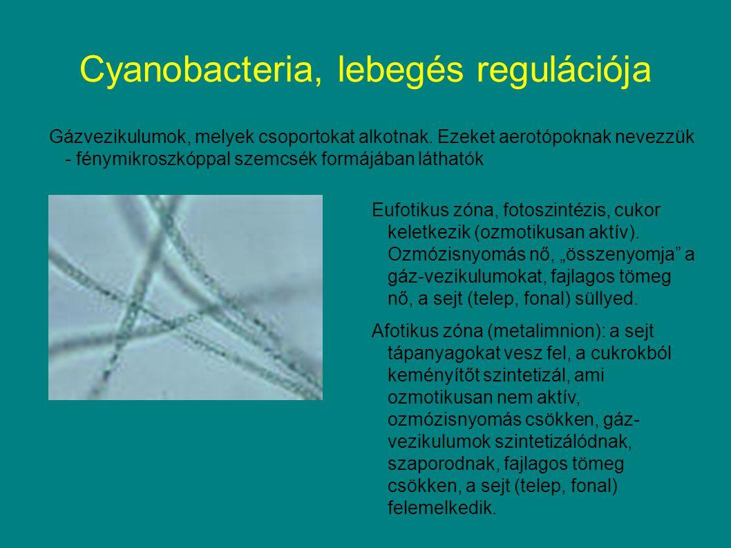 Cyanobacteria, lebegés regulációja