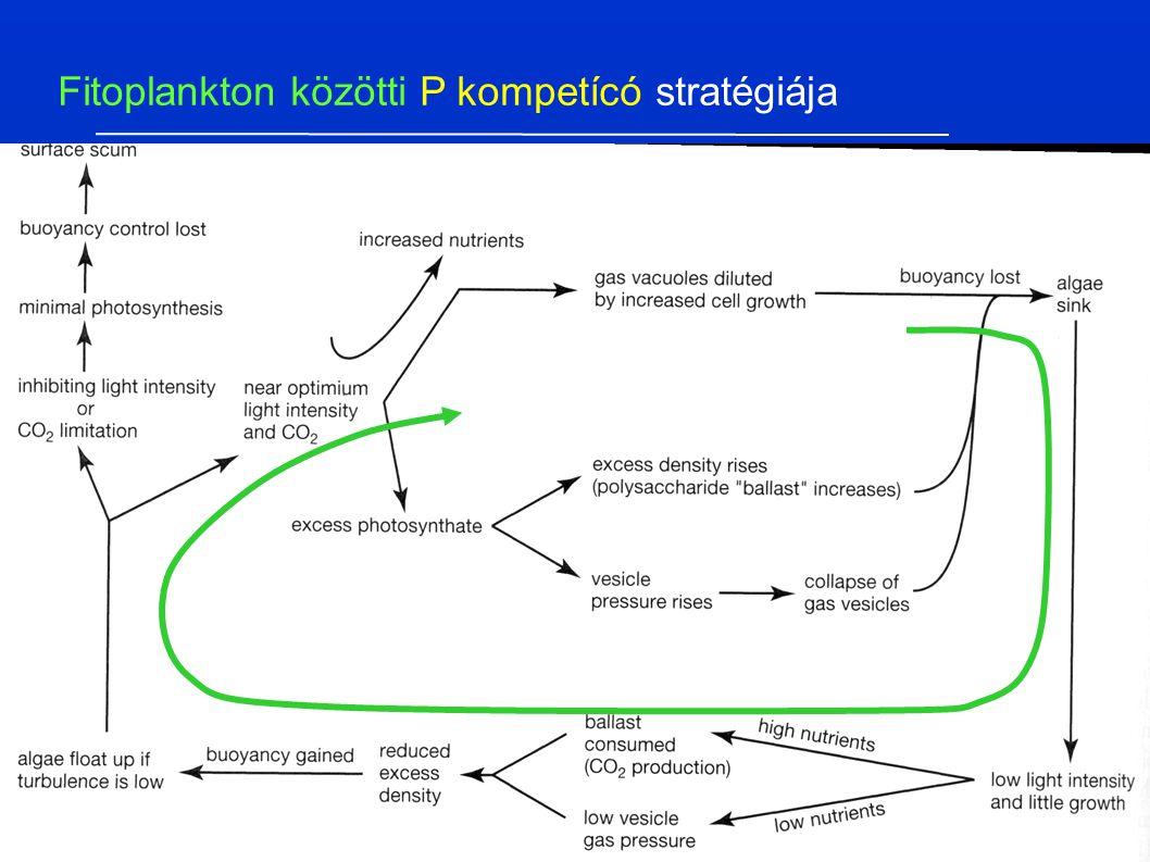 Fitoplankton közötti P kompetícó stratégiája