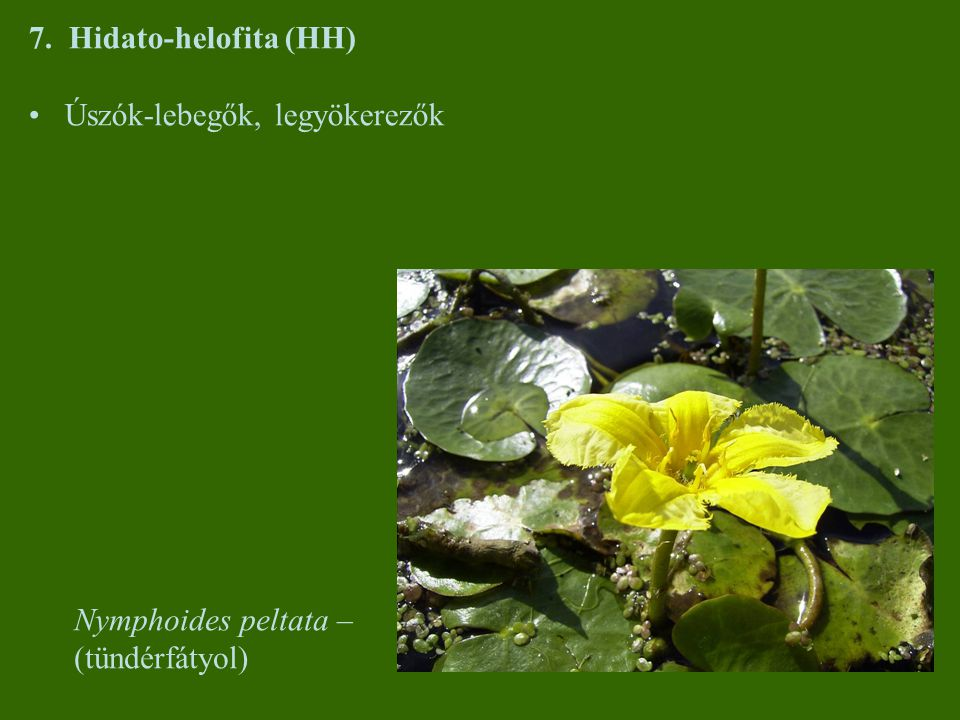 7. Hidato-helofita (HH) Úszók-lebegők, legyökerezők Nymphoides peltata – (tündérfátyol)