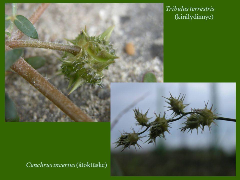 Tribulus terrestris (királydinnye)