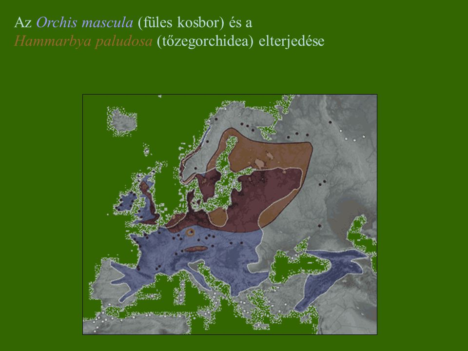 Az Orchis mascula (füles kosbor) és a