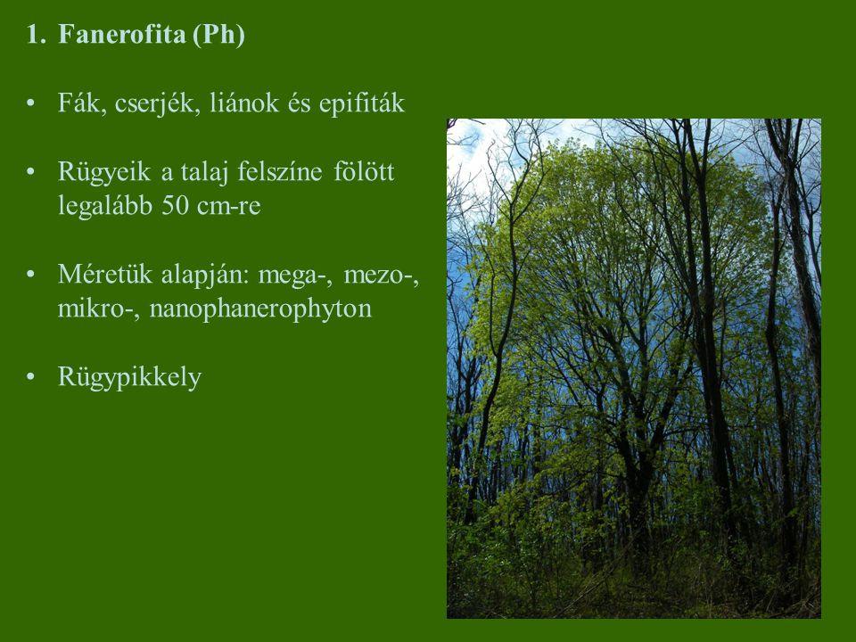 Fanerofita (Ph) Fák, cserjék, liánok és epifiták. Rügyeik a talaj felszíne fölött legalább 50 cm-re.