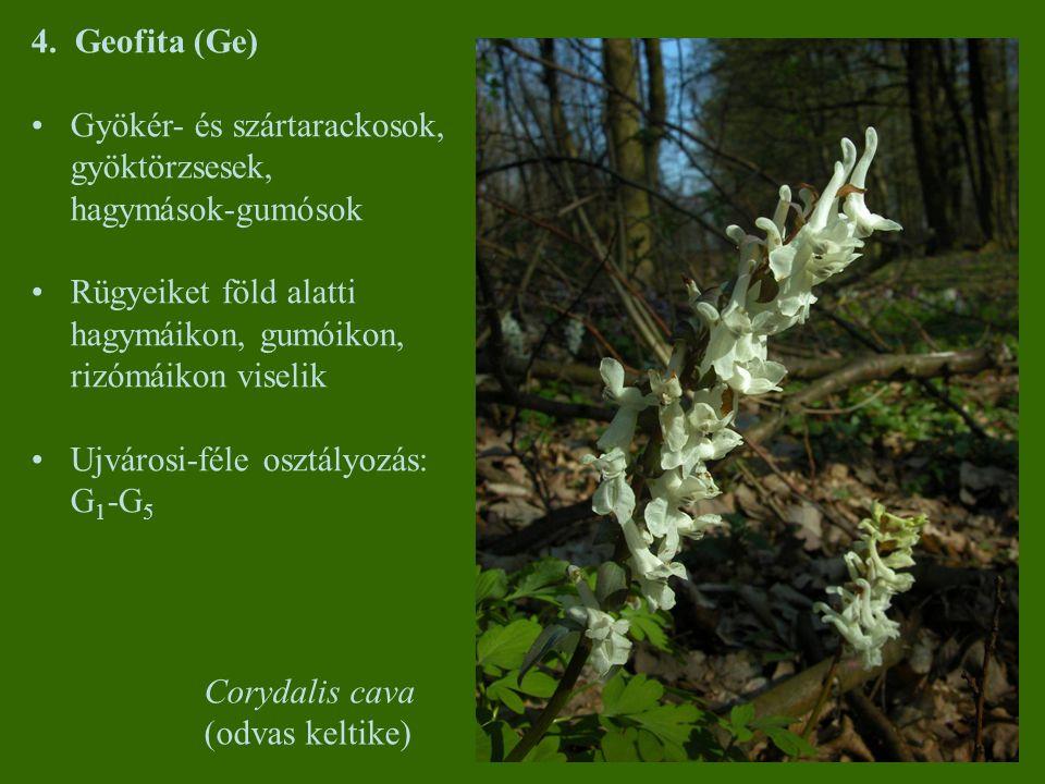 4. Geofita (Ge) Gyökér- és szártarackosok, gyöktörzsesek, hagymások-gumósok. Rügyeiket föld alatti hagymáikon, gumóikon, rizómáikon viselik.