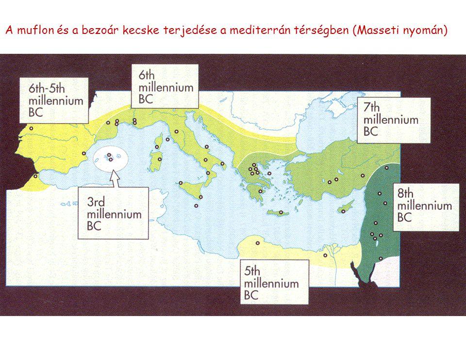 A muflon és a bezoár kecske terjedése a mediterrán térségben (Masseti nyomán)