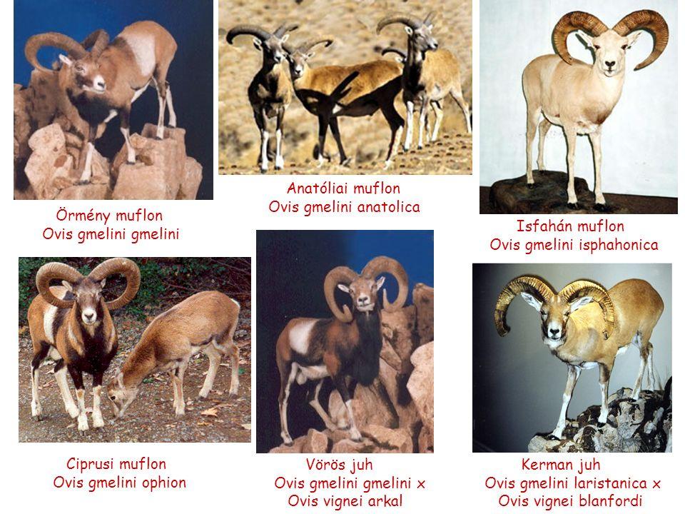 Anatóliai muflon Ovis gmelini anatolica. Örmény muflon. Ovis gmelini gmelini. Isfahán muflon. Ovis gmelini isphahonica.