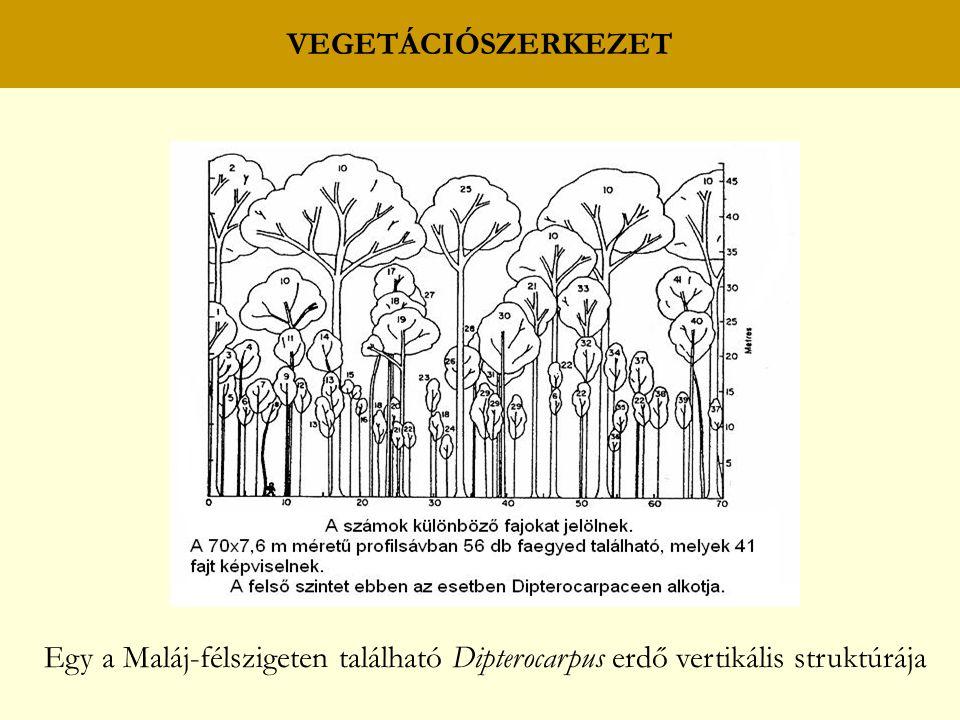 VEGETÁCIÓSZERKEZET Egy a Maláj-félszigeten található Dipterocarpus erdő vertikális struktúrája