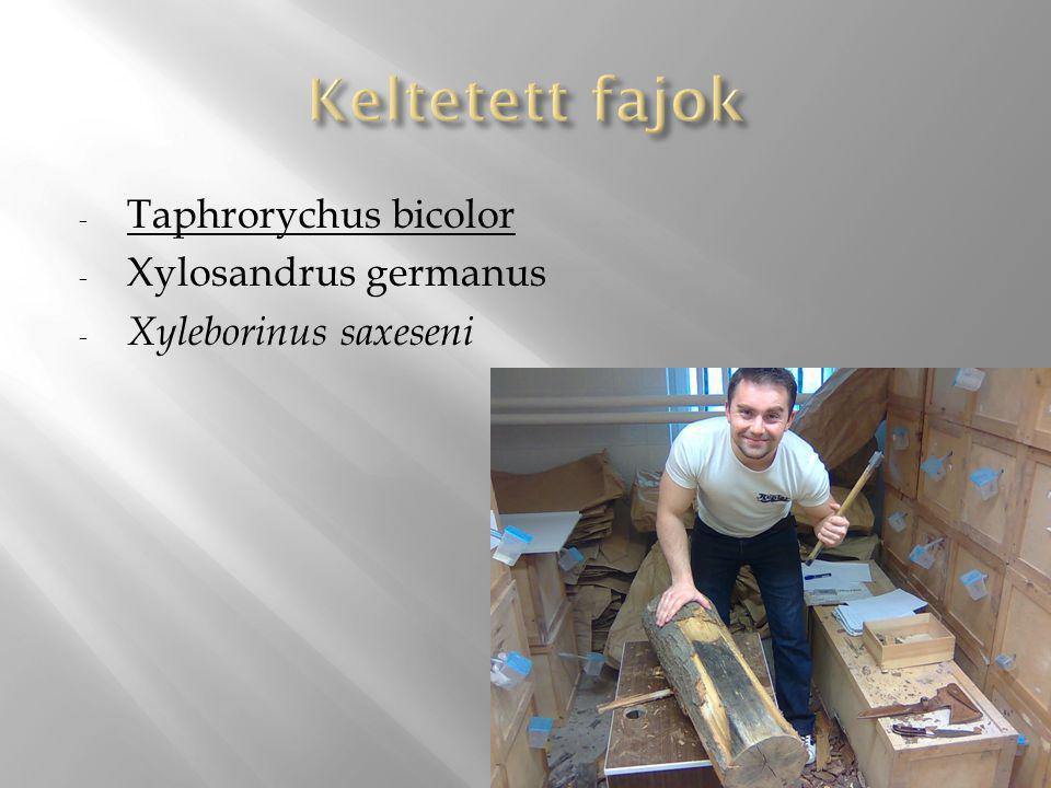Keltetett fajok Taphrorychus bicolor Xylosandrus germanus