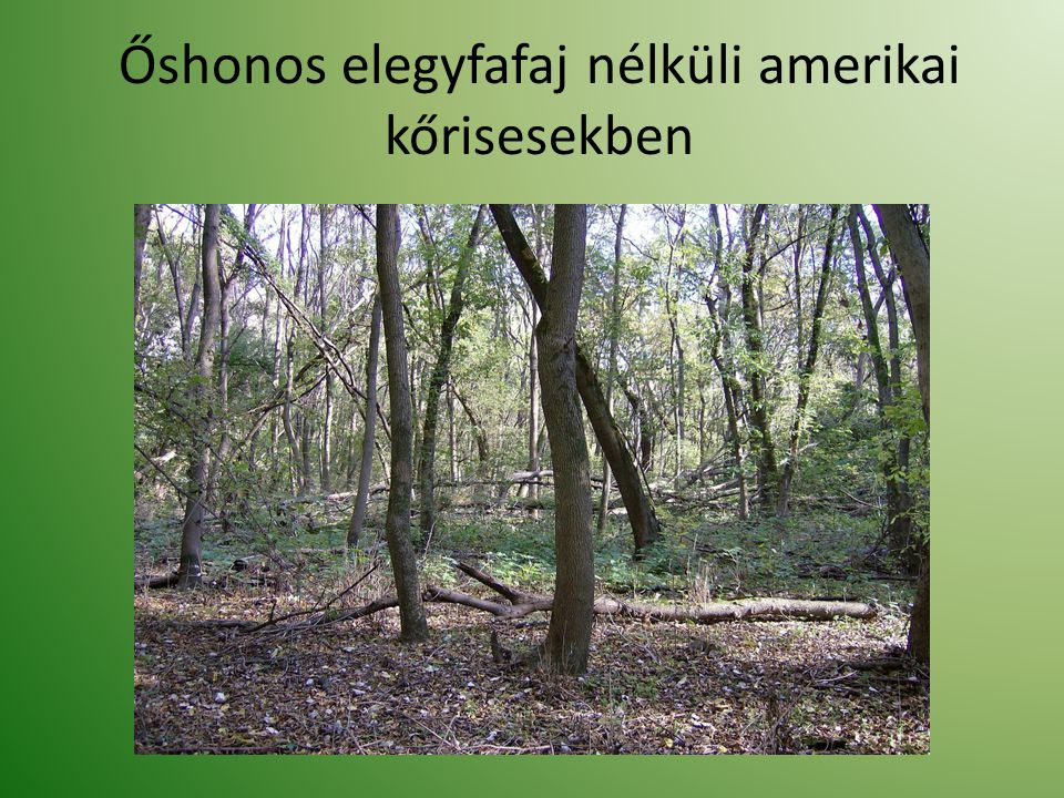 Őshonos elegyfafaj nélküli amerikai kőrisesekben