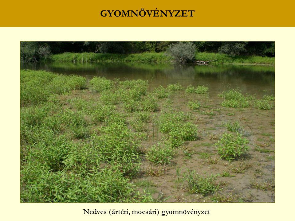 Nedves (ártéri, mocsári) gyomnövényzet