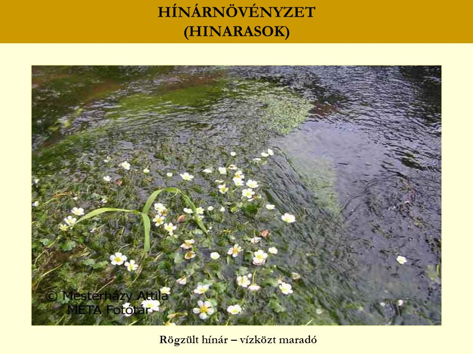 HÍNÁRNÖVÉNYZET (HINARASOK)