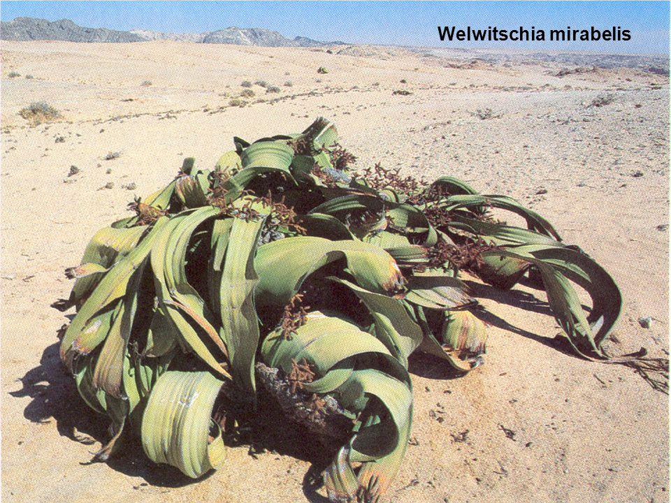 Welwitschia mirabelis