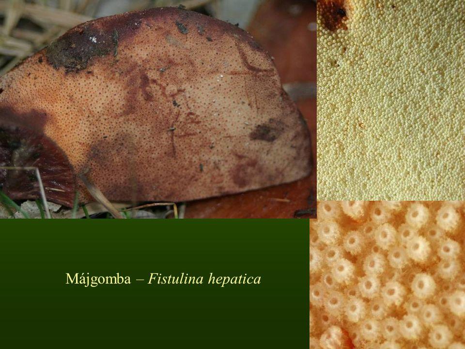Májgomba – Fistulina hepatica