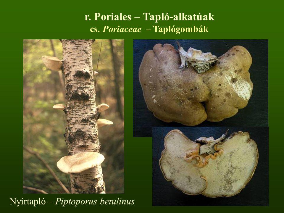 r. Poriales – Tapló-alkatúak cs. Poriaceae – Taplógombák