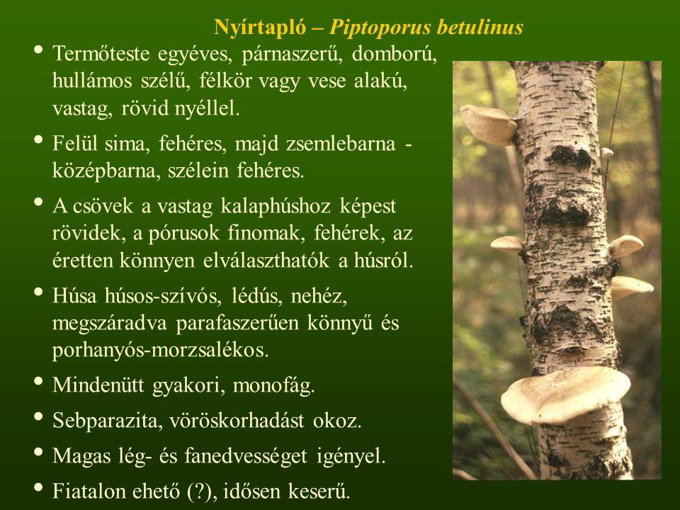 Nyírtapló – Piptoporus betulinus