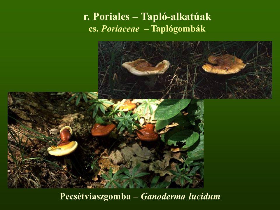 r. Poriales – Tapló-alkatúak