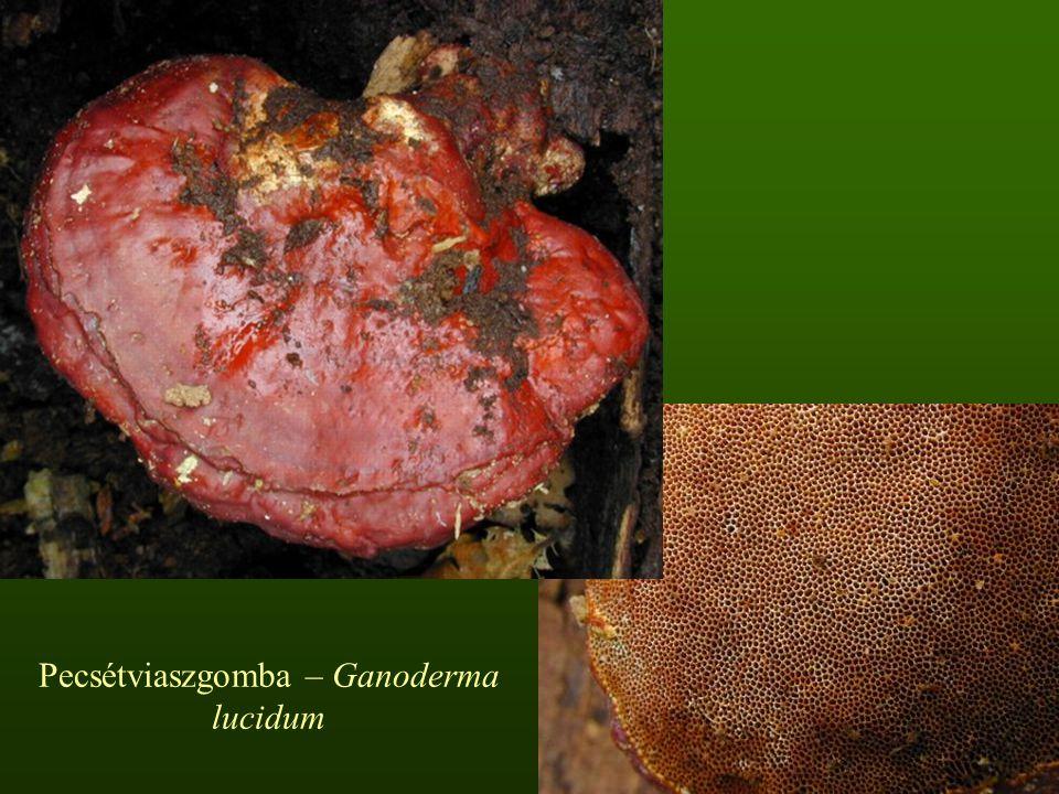 Pecsétviaszgomba – Ganoderma lucidum