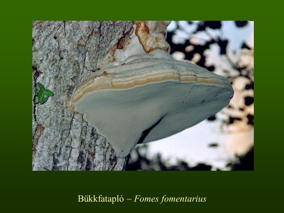 Bükkfatapló – Fomes fomentarius