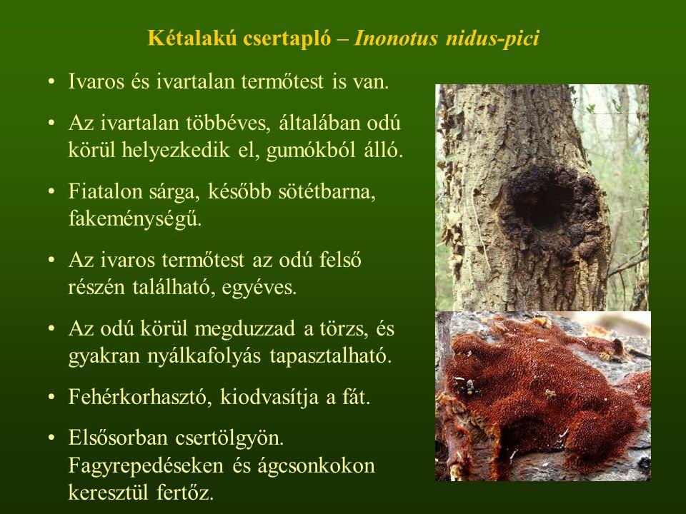 Kétalakú csertapló – Inonotus nidus-pici
