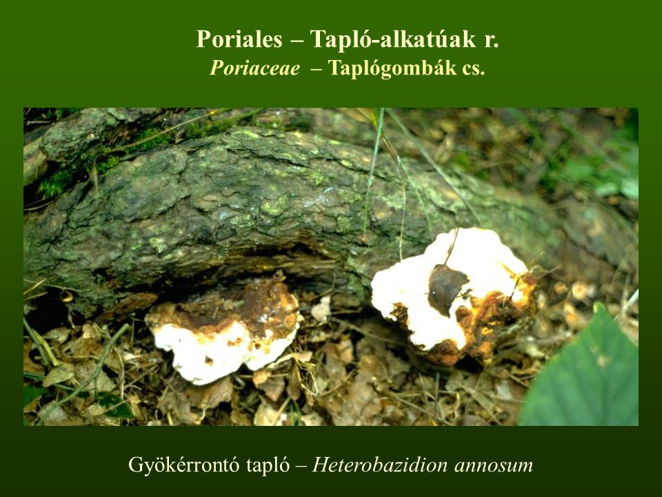 Poriales – Tapló-alkatúak r. Poriaceae – Taplógombák cs.