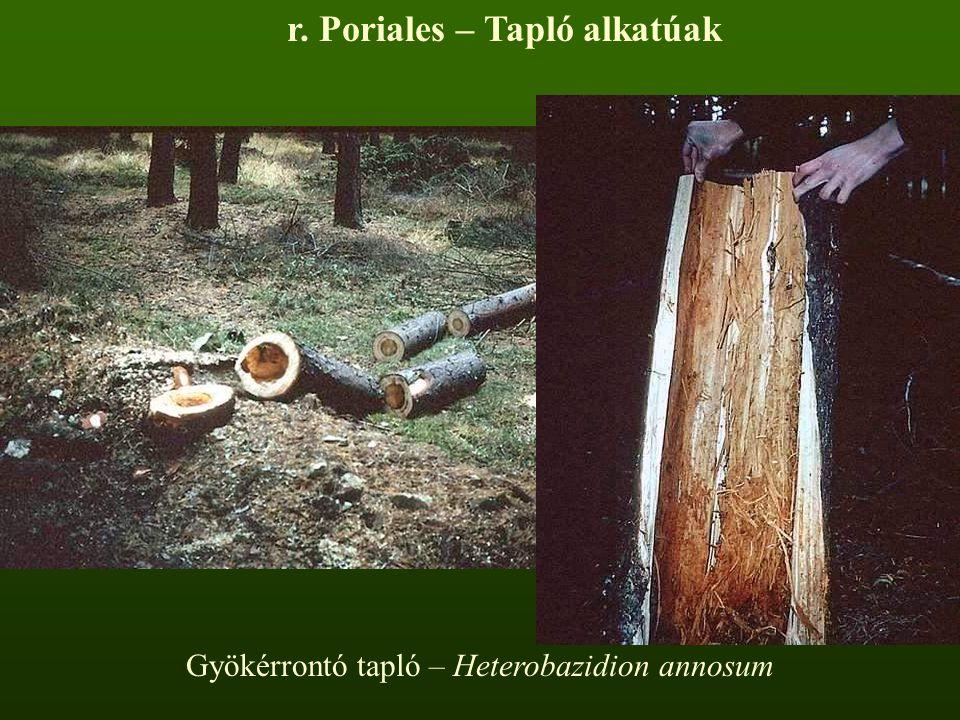 r. Poriales – Tapló alkatúak