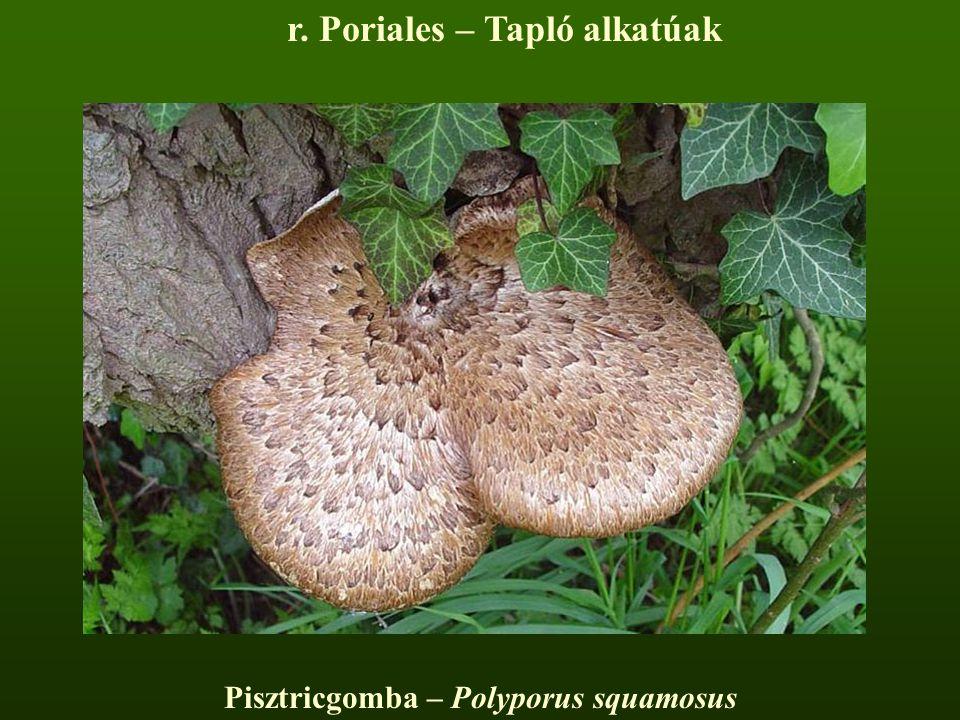 r. Poriales – Tapló alkatúak Pisztricgomba – Polyporus squamosus