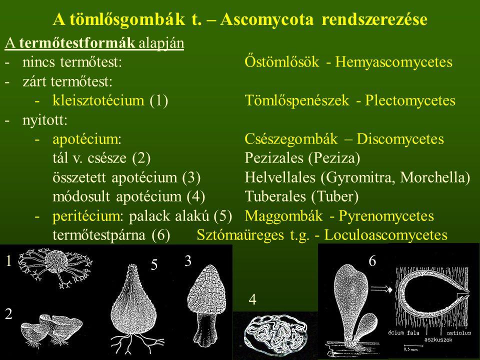 A tömlősgombák t. – Ascomycota rendszerezése