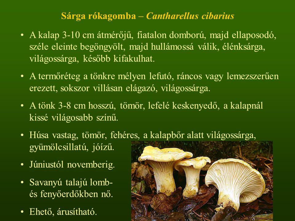 Sárga rókagomba – Cantharellus cibarius