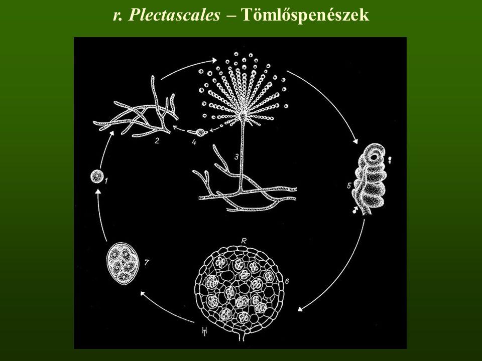 r. Plectascales – Tömlőspenészek