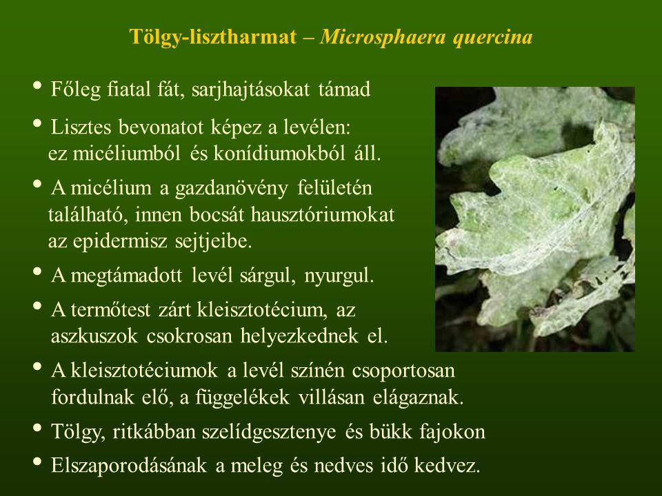 Tölgy-lisztharmat – Microsphaera quercina