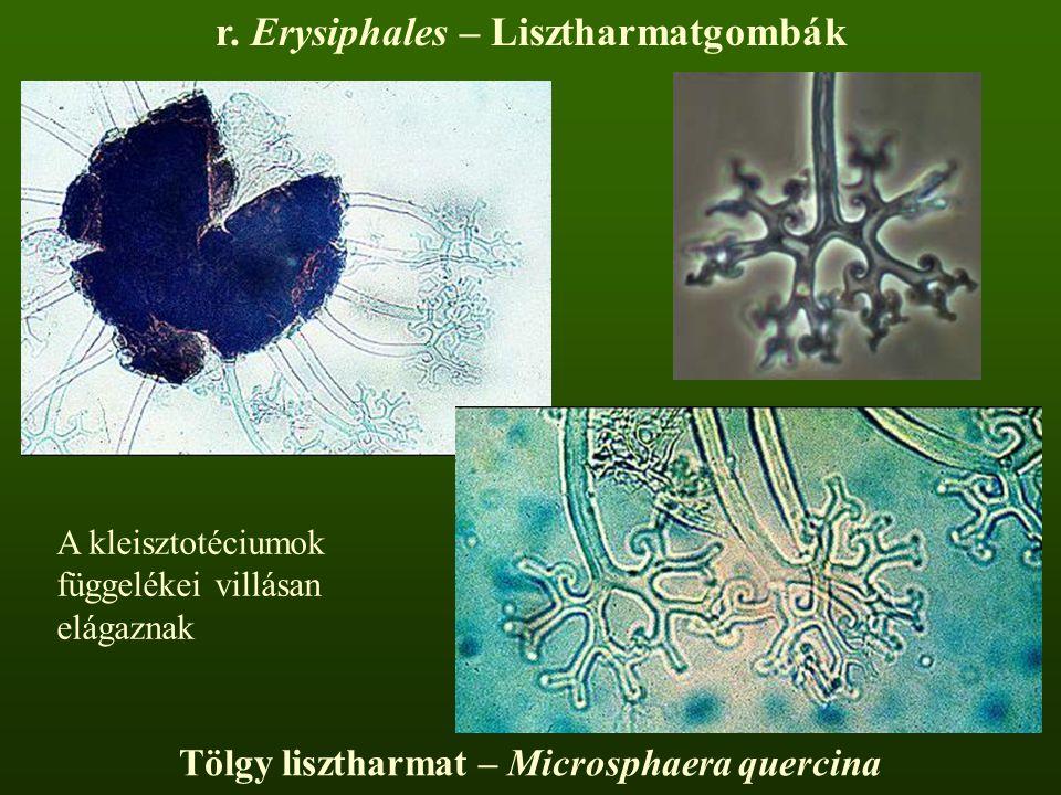 r. Erysiphales – Lisztharmatgombák