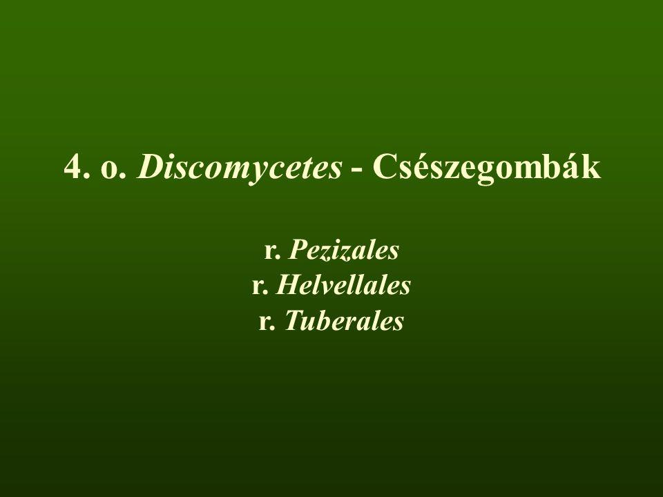4. o. Discomycetes - Csészegombák