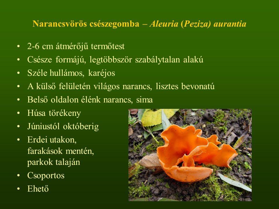 Narancsvörös csészegomba – Aleuria (Peziza) aurantia