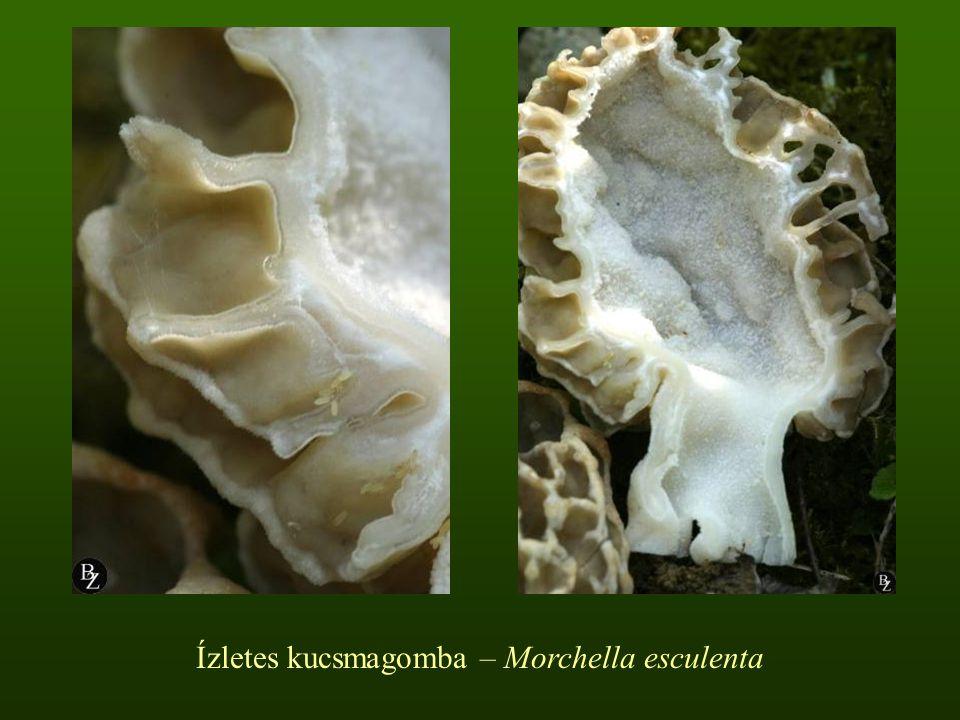 Ízletes kucsmagomba – Morchella esculenta