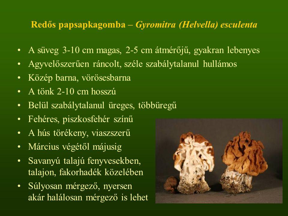 Redős papsapkagomba – Gyromitra (Helvella) esculenta