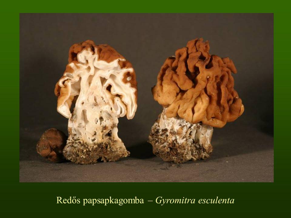 Redős papsapkagomba – Gyromitra esculenta