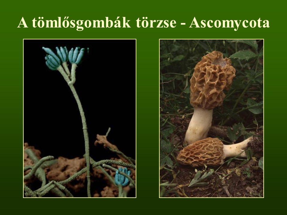 A tömlősgombák törzse - Ascomycota