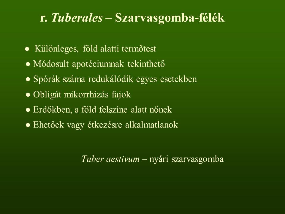 r. Tuberales – Szarvasgomba-félék