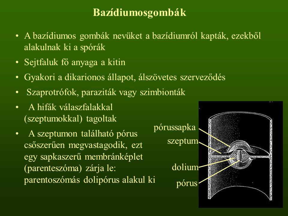 Bazídiumosgombák A bazídiumos gombák nevüket a bazídiumról kapták, ezekből alakulnak ki a spórák. Sejtfaluk fő anyaga a kitin.