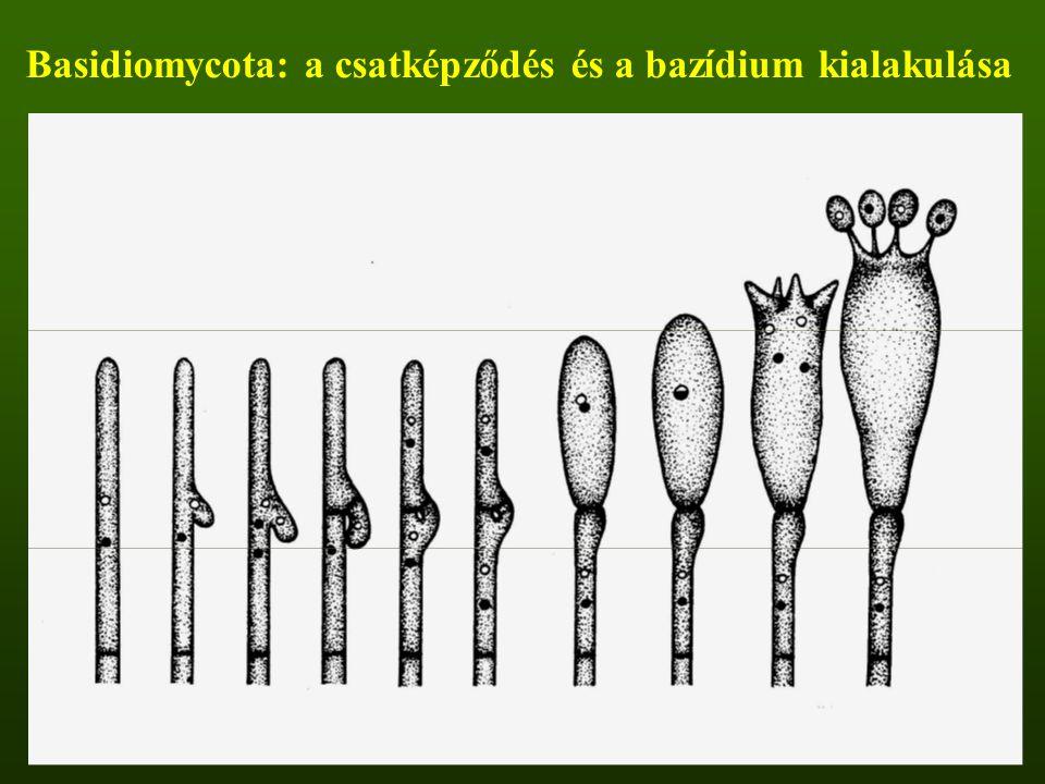 Basidiomycota: a csatképződés és a bazídium kialakulása