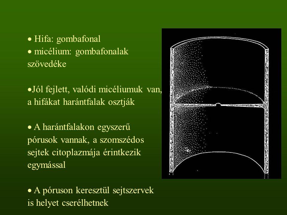 Hifa: gombafonal micélium: gombafonalak szövedéke. Jól fejlett, valódi micéliumuk van, a hifákat harántfalak osztják.