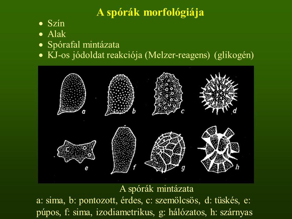 A spórák morfológiája Szín Alak Spórafal mintázata