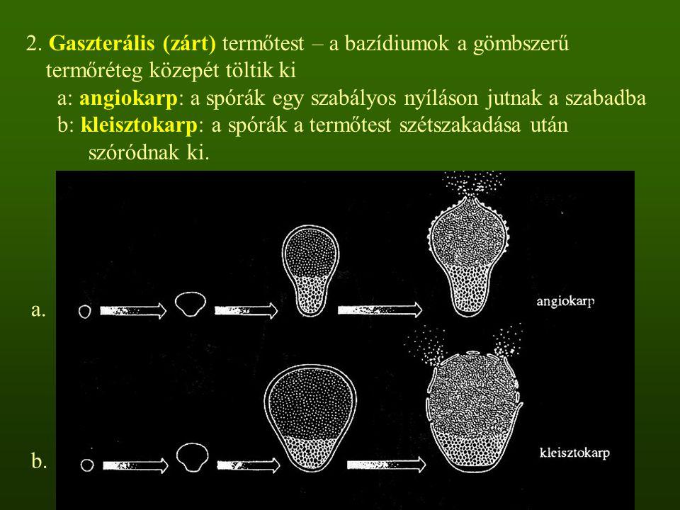 2. Gaszterális (zárt) termőtest – a bazídiumok a gömbszerű termőréteg közepét töltik ki