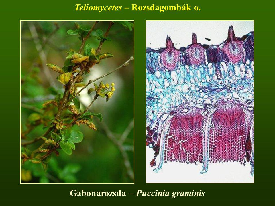 Teliomycetes – Rozsdagombák o. Gabonarozsda – Puccinia graminis