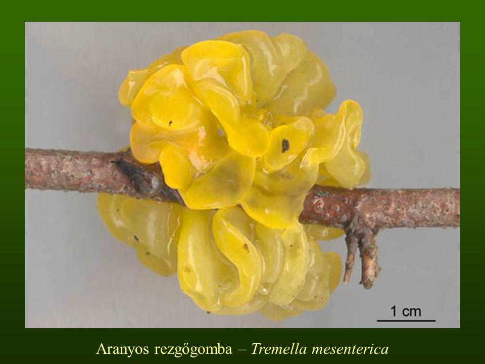 Aranyos rezgőgomba – Tremella mesenterica