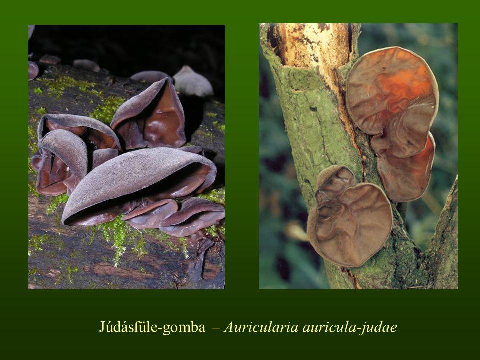 Júdásfüle-gomba – Auricularia auricula-judae