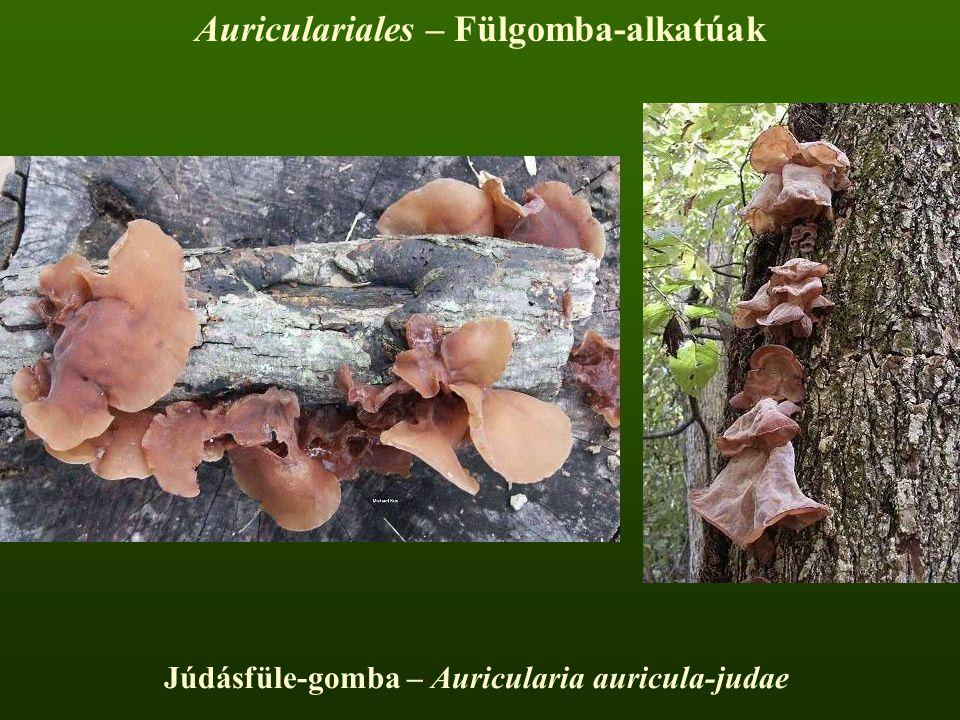 Auriculariales – Fülgomba-alkatúak