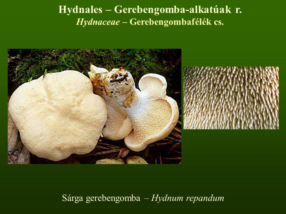 Hydnales – Gerebengomba-alkatúak r. Hydnaceae – Gerebengombafélék cs.