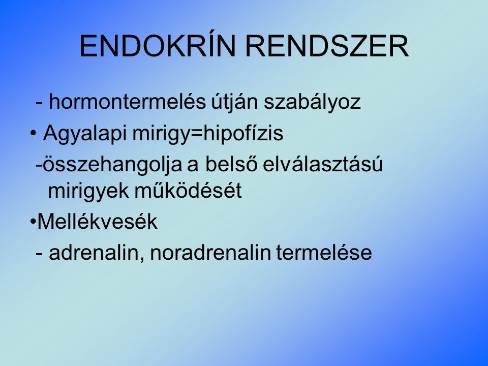 ENDOKRÍN RENDSZER - hormontermelés útján szabályoz