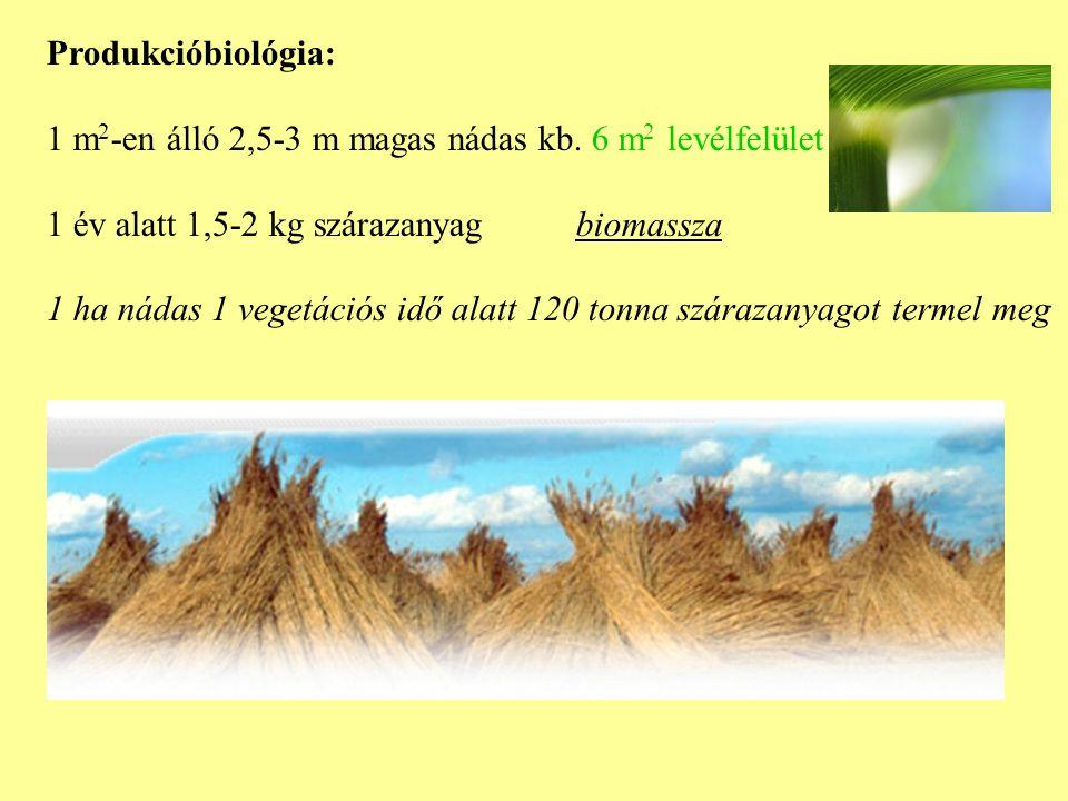 Produkcióbiológia: 1 m2-en álló 2,5-3 m magas nádas kb. 6 m2 levélfelület. 1 év alatt 1,5-2 kg szárazanyag biomassza.