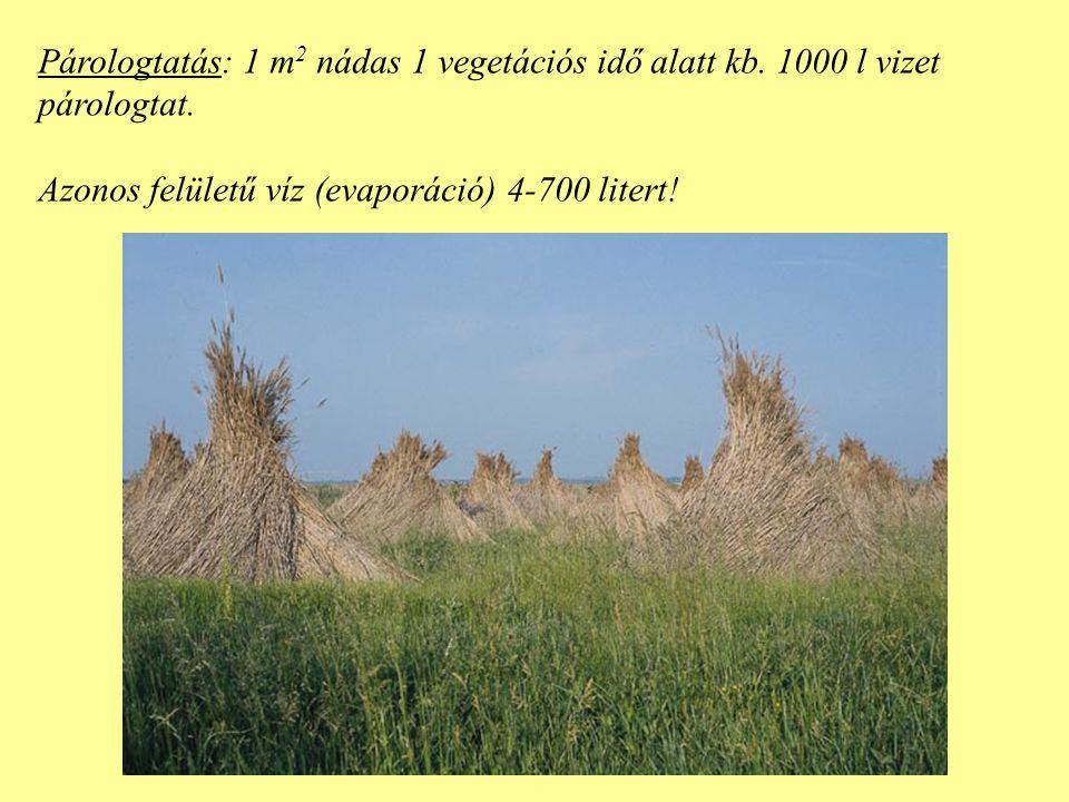 Párologtatás: 1 m2 nádas 1 vegetációs idő alatt kb. 1000 l vizet
